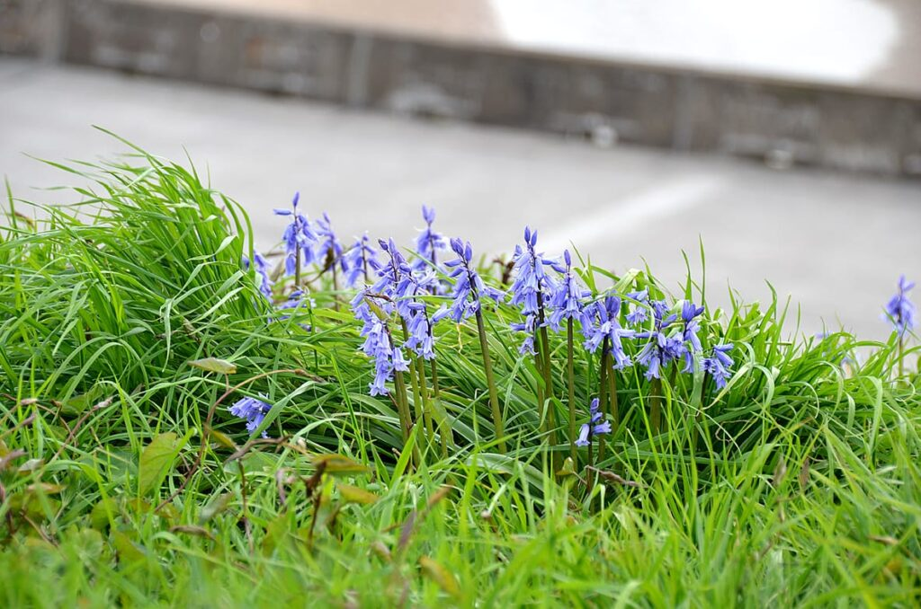 Bluebells growing wild on the seafront at Bispham